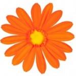 Tete de gerbera orange